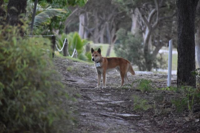 Image of a dingo wearing a new camera collar in the orchid beach region.