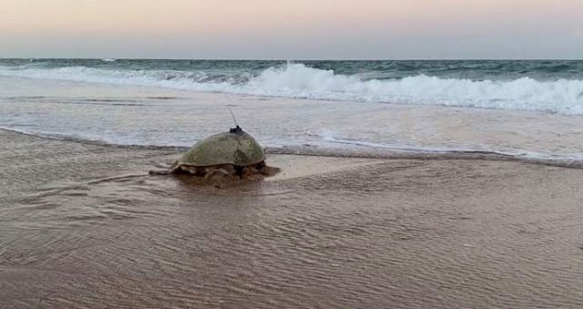 Image of Merlie the turtle heading out to sea.