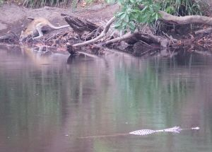 The croc was seen on the Mitchell River near Mt Carbine