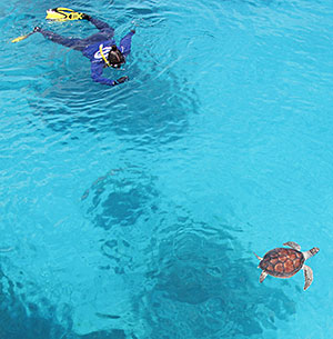 Image of turtle swimming.